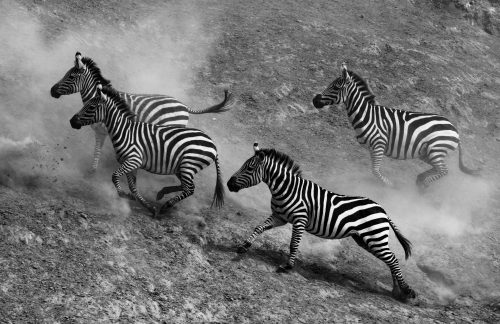 Zebra scatter after being spooked by a crocodile