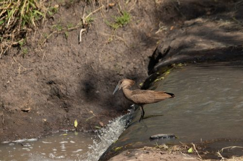 A hammerkop hunts for fish and frogs
