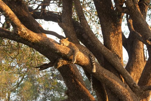 Romy the leopard surveys the landscape from a quintessential advantage point
