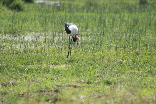 A saddle-billed stork wades in a marshland in search of its next meal