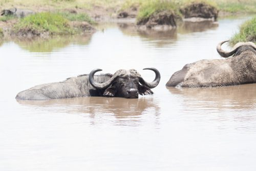 An old buffalo cools off in a muddy pond
