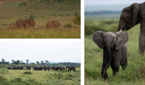 Large elephant herds are in abundance in the triangle at the moment