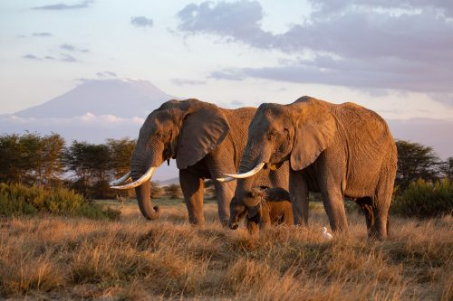 A breeding herd of elephant pictured with Mount Kilimanjaro in the distance