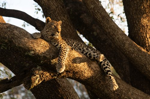 A leopard rests in a tall tree in the golden morning light