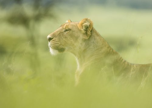 A lioness casts her gaze over the plains of the Mara Triangle