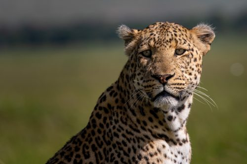 Without a doubt the biggest and most prominent leopard of the Triangle