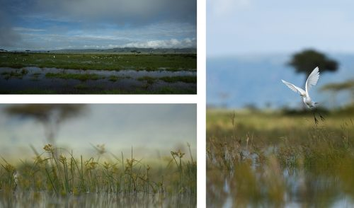 Cattle egrets, flooded grasslands and a frog's eye view of the world
