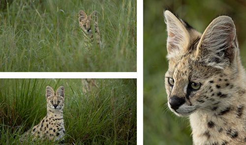 A family of servals play beside the road
