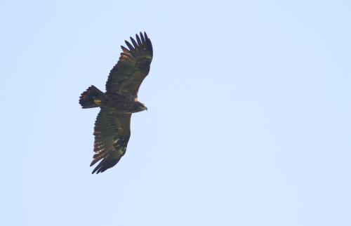 A large Steppe Eagle freshly arrived from the extensive grasslands of the Russian Steppe