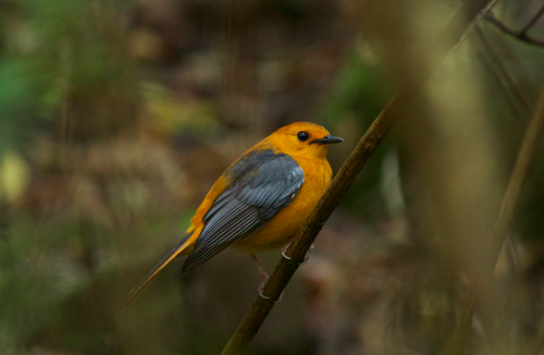 A relatively recent addition to the camp's resident bird list, the stunning red-capped robin-chat