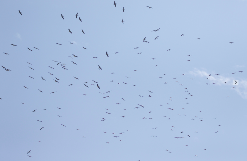 A swirling masse of White Storks soar over the camp