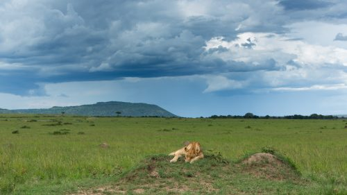 A lioness from the Owino Pride rests on a termite mound