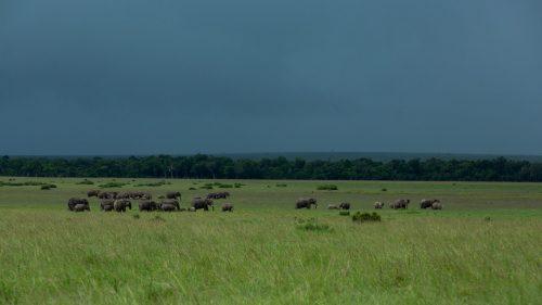 A family of elephants make their way through the Mara grasslands