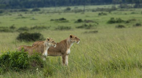 The Owino Pride females prepare for a hunt