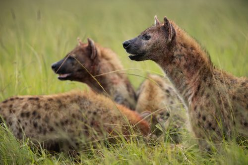 Hyenas from the North Clan move in to steal the kill