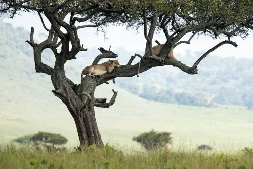 'Mama Kali' relaxes in a tree - not far from Angama Mara
