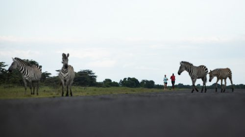 Plains game; zebra and giraffe congregate in the open space around the Angama airfield