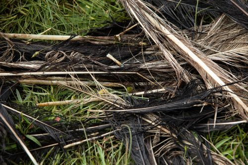 Ostrich feathers scattered around the area of the kill