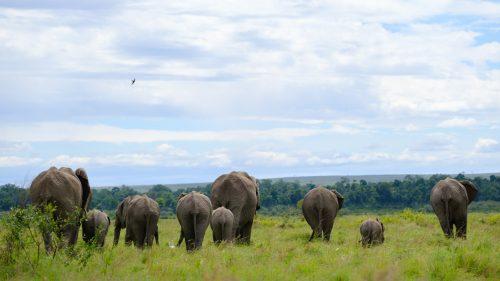 A family of elephant make their way towards the Mara River