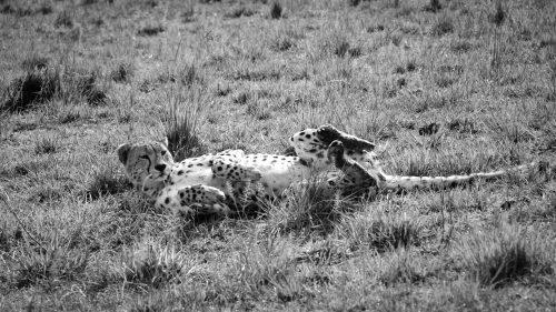 A lone cheetah drops her guard momentarily