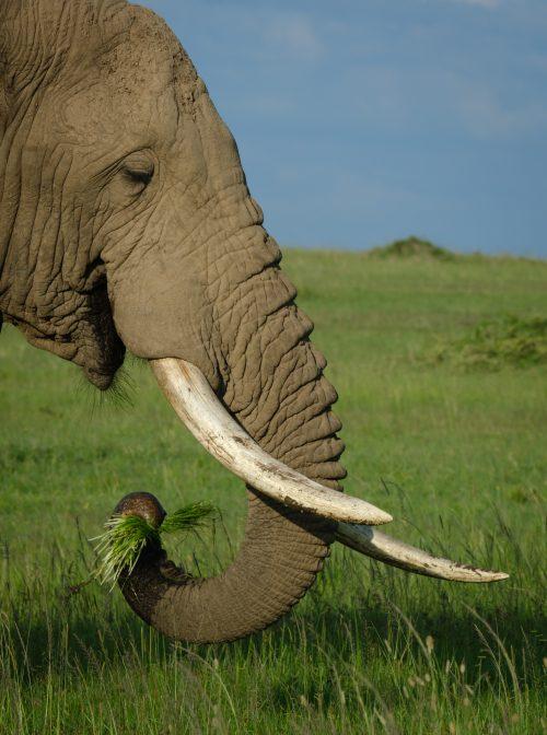 A Mara elephant enjoys the abundance of green grass brought on by the rainy season