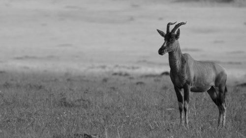 A vigilant topi plays sentry for his herd