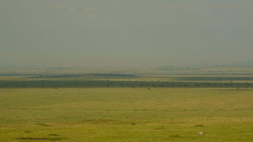 A lone zebra navigates the vastness of the Maasai Mara