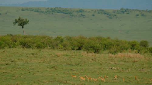Safety in numbers for this herd of impala