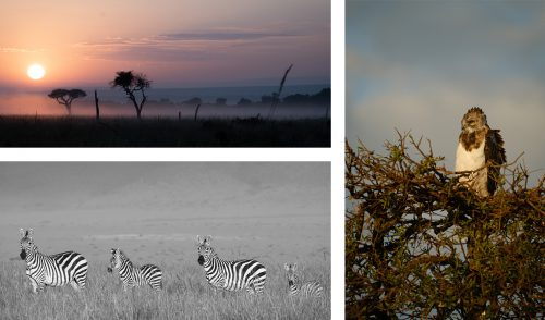 Resident species zebra and the black chested snake eagle take in the Mara sunrise