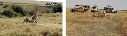 Migration season is a season of plenty for predators in the Mara Triangle