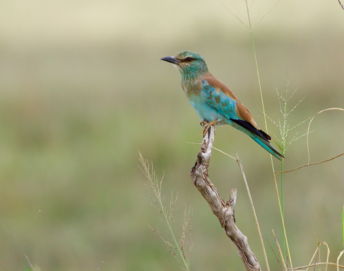 A Eurasian Roller - fresh in from eastern Europe