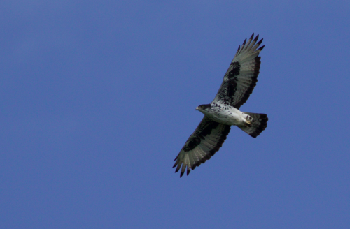 Good views of the resident African Hawk-eagle pair can be had from the North Camp deck most mornings