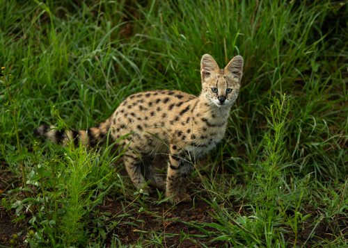 An unusually bold serval kitten alongside the road