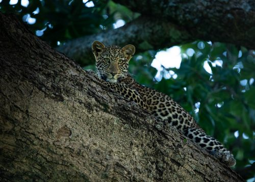 The young cub of the Salt Lick Female rests up in the branches of a  fig tree