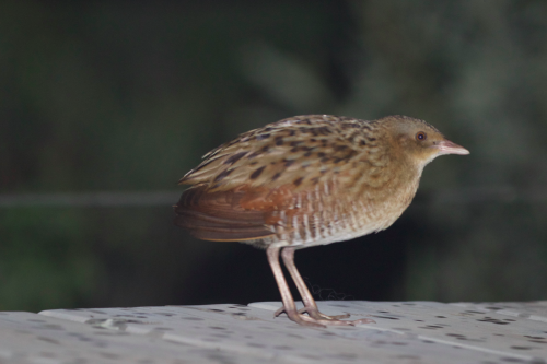 The almighty Corn Crake on the decking of Tent 12, North Camp