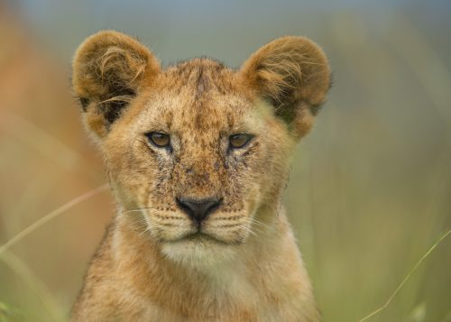 One of the seven cubs in the Salt Lick Pride looks out on the mothers moving through the long grass