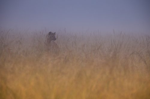 A hyena emerges from the morning mist