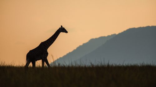 The lone figure of a male giraffe silhouetted against the backdrop of the Oloololo Escarpment