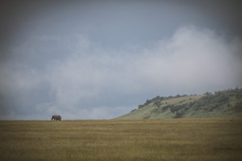 A lone elephant bull strides through the magnificent Mara landscape