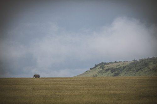 A lone elephant bull strides through the magnificent Mara landscape