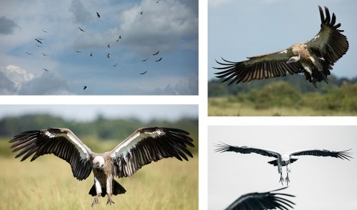 White-backed and Ruppel's Griffons Vultures circle and come in for landing
