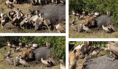 Hyena and vultures fight it out over a hippo carcass