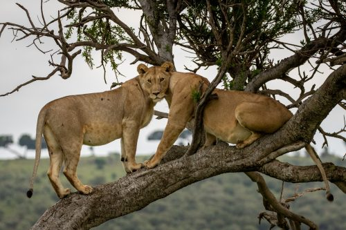 Two lionesses from the Angama Pride create an optical illusion