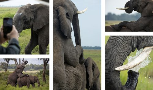 Elephants mating; an unusual and exciting sighting