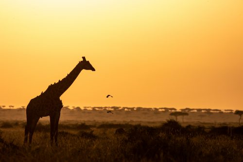 A giraffe poses for a lovely silhouette