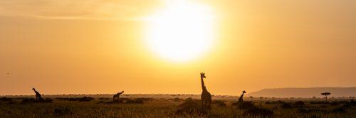Giraffe Mara panorama