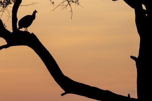 Guinea fowl silhouette