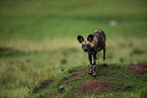One of the seven wild dogs recently sighted in the Mara