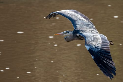 A grey heron surveys the Mara River