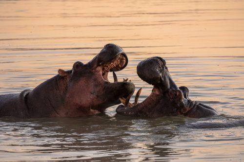 Hippos sparring in lovely morning light